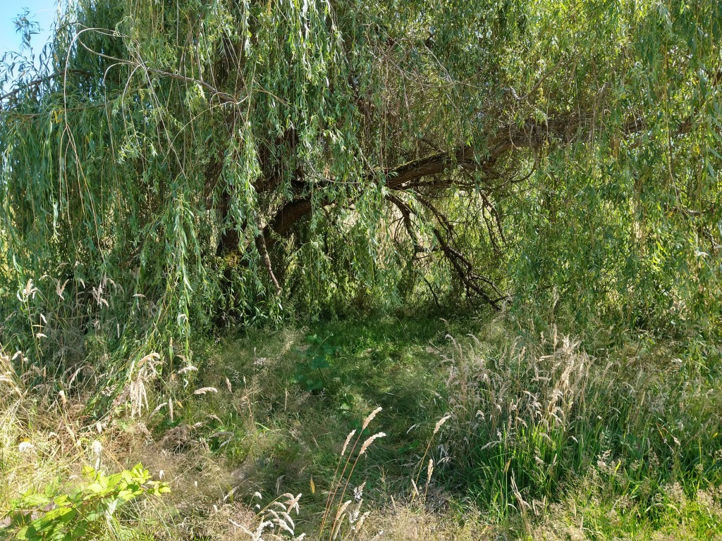 Bright green willow tree in a park. Almost as if a tent made of a tree.