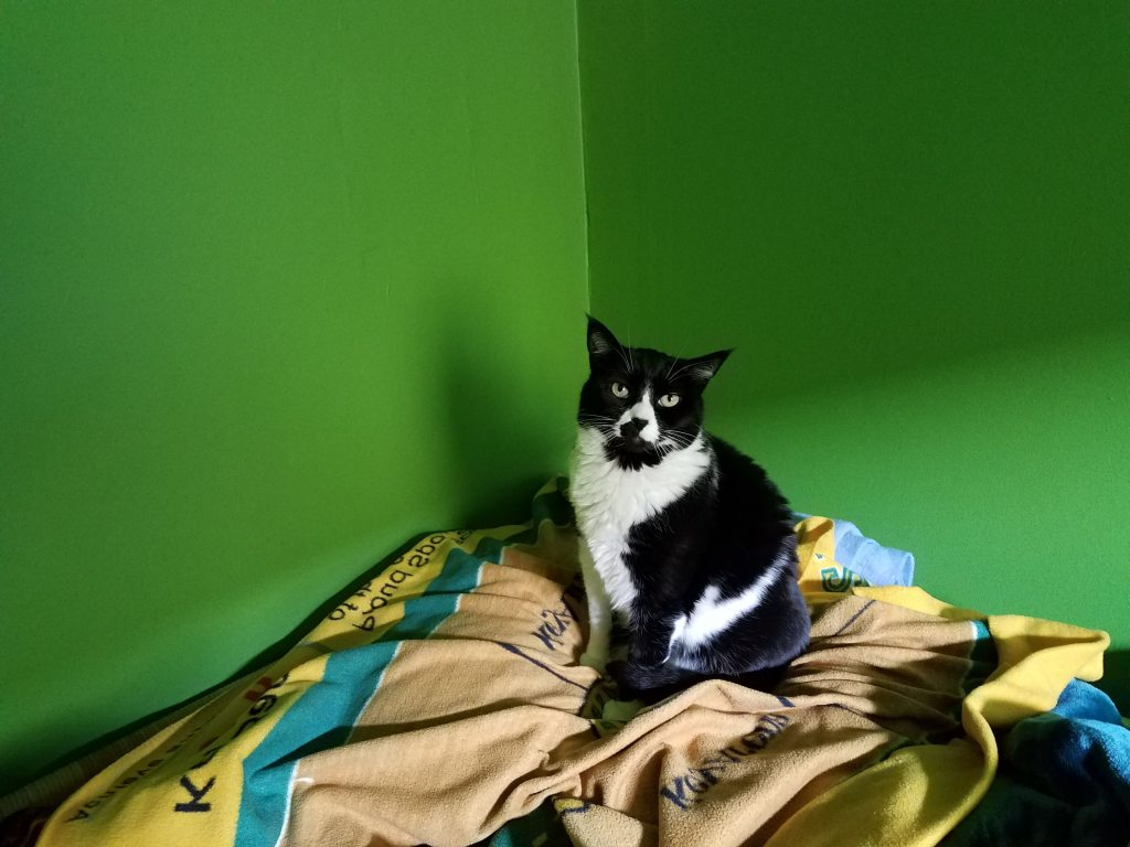 My orca-tuxedo cat Lucy, getting up to pose for a picture, on a yellow sonics blanket while on my bed. In a corner, Green walls in the background.