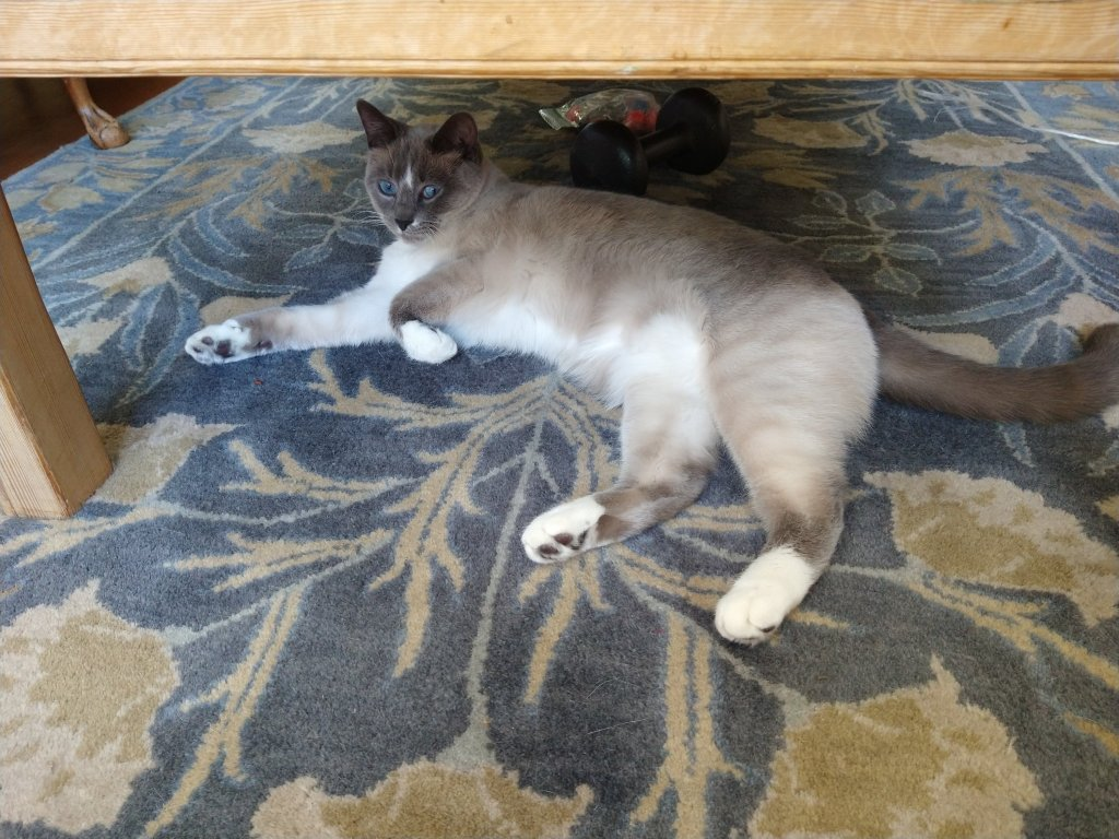 Coco the Siamese kitten relaxing on an area rug, splayed out.